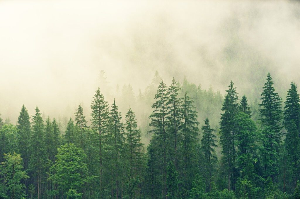 fog, coniferous forest, spruce